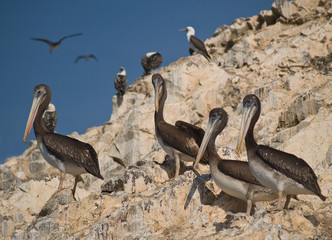 Wildlife on Islas Ballestas in Peru, Paracas Natural Park