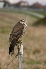 Peregrin Falcon sat on post