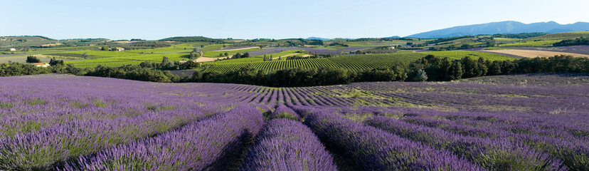 Photo sur Toile Lavende vue panoramique champ de lavande en Provence