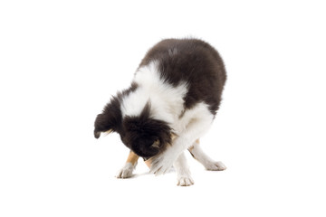 collie dog puppy isolated on white