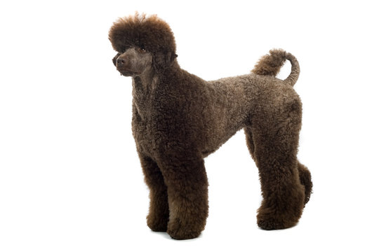a brown king poodle isolated on a white background