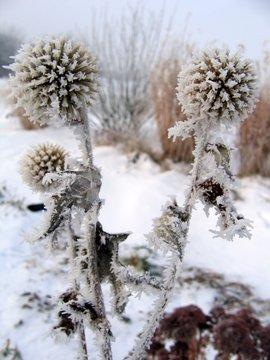 Frost on garden plants