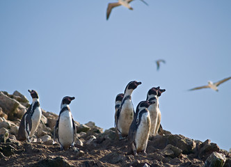 Wildlife on Islas Ballestas in Peru, Paracas Natural Park