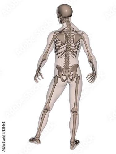 "human male skeleton (rear view)"" stock photo and royalty-free, Skeleton"