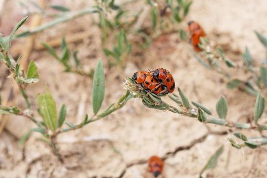Accouplement de coccinelles (Coccinellidae) - Provence