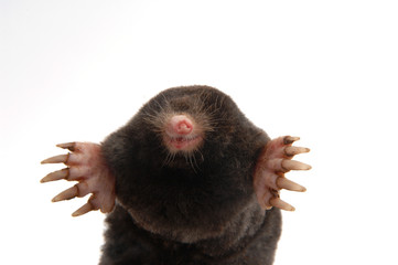 townsend's mole half body front view showing feet and claws