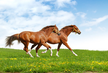 Wall Mural - two foals gallop - realistic photomontage