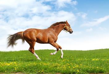 Fotoväggar - sorrel trakehner foal gallops - realistic photomontage