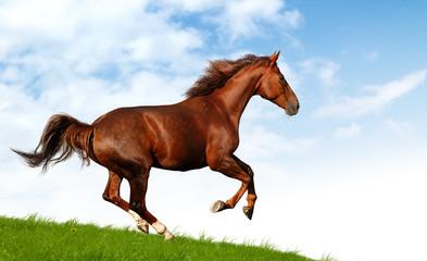 Fotoväggar - sorrel mare gallops - realistic photomontage
