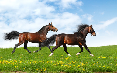 Wall Mural - two stallions trot - realistic photomontage