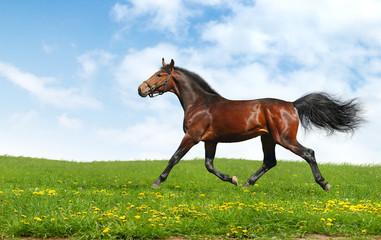 Fotoväggar - hanoverian horse trots - realistic photomontage