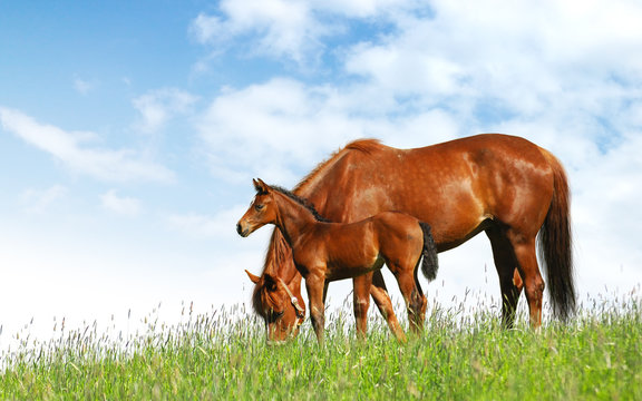 mare and foal in a field - realistic photomontage