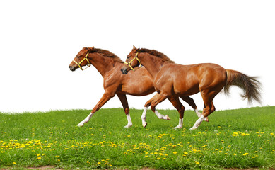 Fotoväggar - sorrel foals gallop - isolated on white