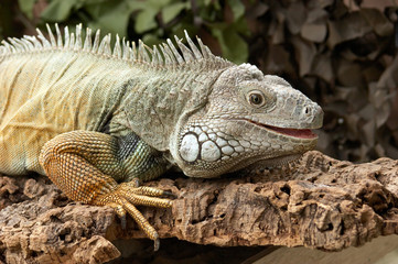 Common Green Iguanas