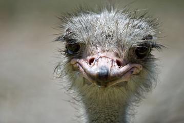 ostrich #2
