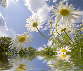 Looking up trough daisies into a cloudy sky with reflection