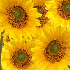 Lots of sunflowers floral background