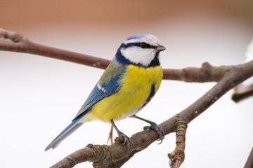 bluetit (aka parus caeruelus)