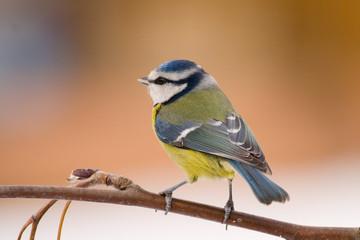 blue tit (aka parus caeruelus)