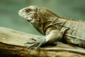 Cuban ground iguana (Cyclura nubila) climbing on a branch