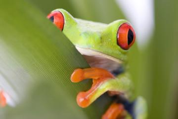 Fototapeten Frosch frog macro - a red-eyed tree frog (Agalychnis callidryas)