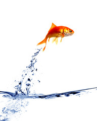 goldfish jumping out of the water