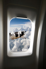 Fototapete - A flying cow viewd out a plane window