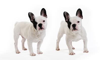 Photo sur Plexiglas Bouledogue français 2 chiens bouledogue français sur fond blanc