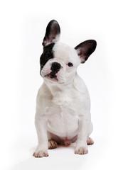 Papiers peints Bouledogue français chien bouledogue français sur fond blanc
