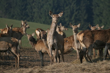 many stags