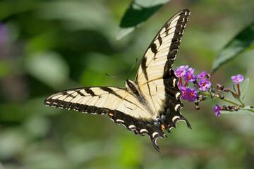 Fotoväggar - Tiger Swallowtail Butterfly (papilio glaucas