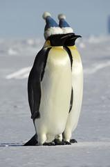 Antarctic penguin couple with caps