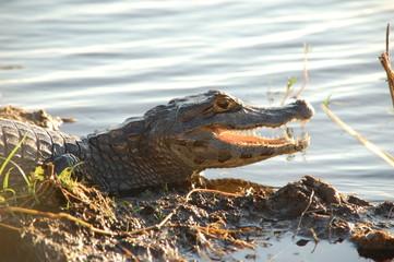 Krokodil in Sumpflandschaft