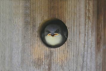 Fotoväggar - Baby Tree Swallow (tachycineta bicolor)