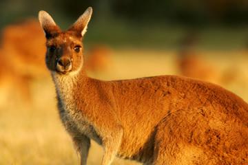 Fototapete - Western Grey Kangaroo