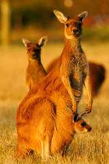 Photo sur Plexiglas Kangaroo Western Grey Kangaroo