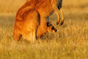 Fototapete - Western Grey Kangaroos