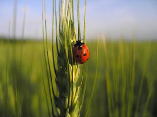 Photo sur Aluminium Coccinelles ladybird