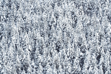 background made with snow covered pine trees