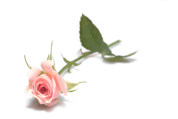 valentines day rose background