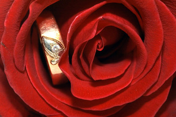 On a photo a red rose with golden ring by macro lens