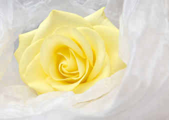 Nice yellow rose wrapped in white satin