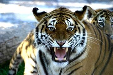 Photo sur Plexiglas Tigre Tigre