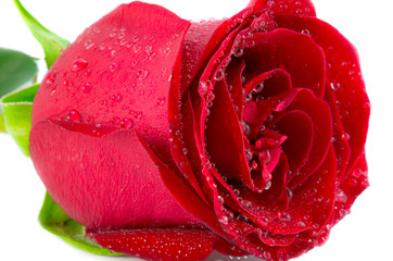 the macro of red rose with water drops