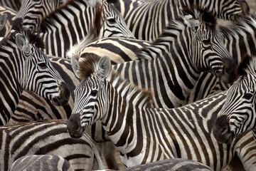 Wall Murals Zebra zebras 2