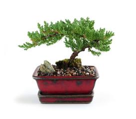 Bonsai tree in ceramic pot on white background