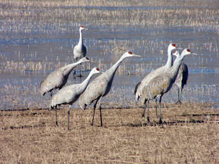 Sandhill Cranes at the Bosque del Apache readying to take off