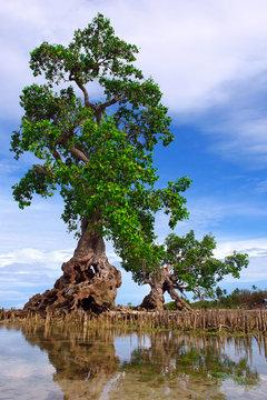 Lone mangrove tree on a tropical Asian beach.