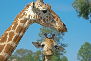 a mother and baby giraffe together