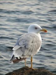 Crimean seagull